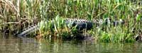 Alligator on the Suwannee River